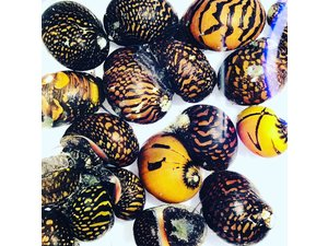 Bubba's Snail