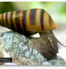 Bubba's Snail Brotia manningi