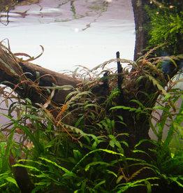Plantes InVitro Hygrophila pinnatifida