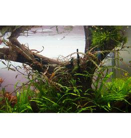 Plantes InVitro Hygrophila pinnatifida (invitro)