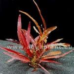 Bubba's Plants Barclaya longifolia