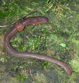 Bubba's Foods Compost worms - Dendrobaena
