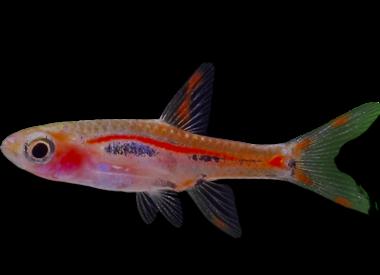 Nano-vissen