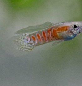 Bubba's Fishs Ginga rubra blond