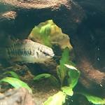 Bubba's Fishs Badis Ferrarisi