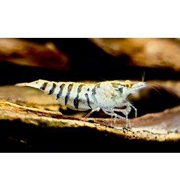 Bubba's Shrimps Babaulti strepen