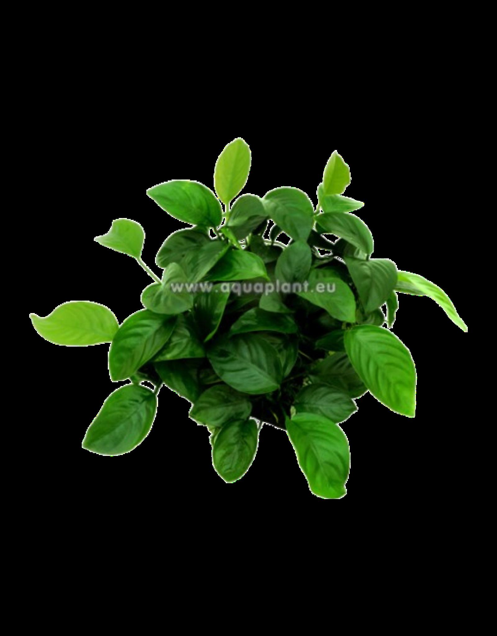 Epaqmat Barteri - Green wall 16.5x13cm