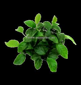 Epaqmat Anubias Barteri - Green wall