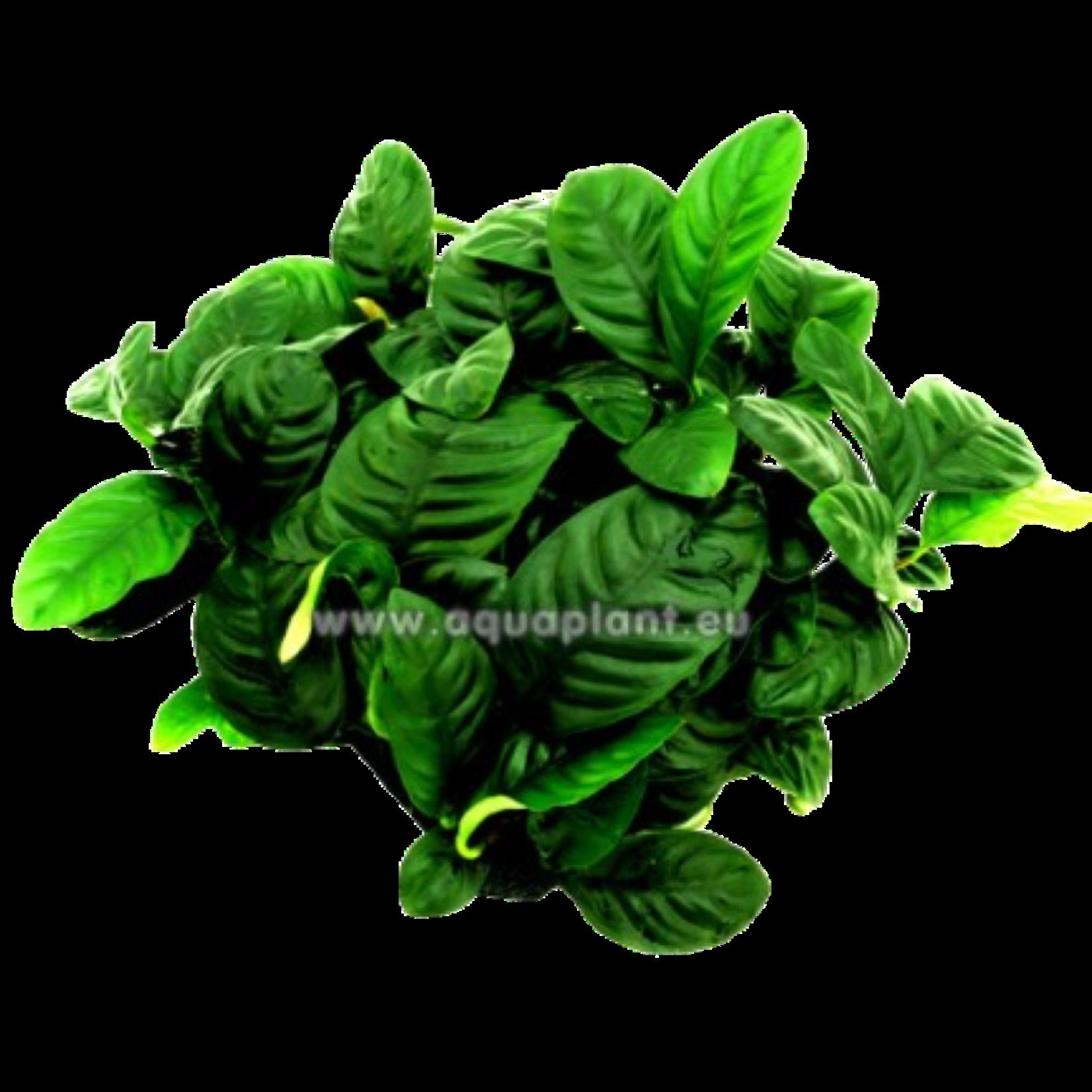 Epaqmat Coffeefolia - Groene muur 16.5x13cm