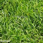 Epaqmat Carpet Lilaeopsis novae-zelandiae