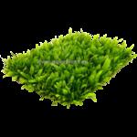 Epaqmat Microsorum minor tapijt