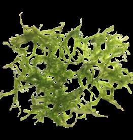 Mousse Pelia - Monosolenium Tenerum