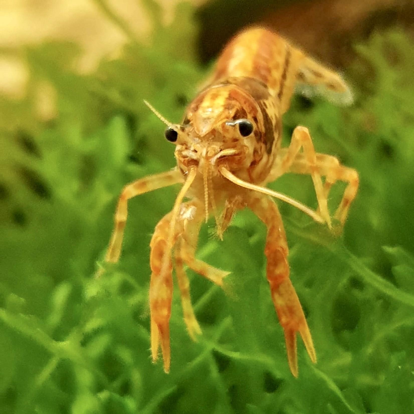 Bubba's Crayfish Écrevisse CPO - Cambarellus patzcuarensis var. orange
