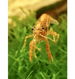 Bubba's Crayfish CPO - Cambarellus patzcuarensis var. orange