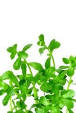 Bubba's Plants Bacopa monieri (Strip)