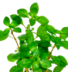 Bubba's Plants Ludwigia Glandulosa (Strip)