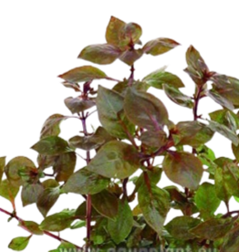Bubba's Plants Ludwigia sp. Super Red (Strip)