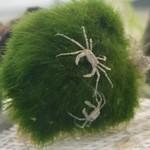 Bubba's Crabs Limnopilos naiyanetri - Micro-crab