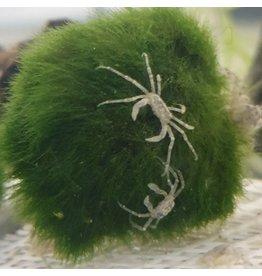 Bubba's Crabs Limnopilos naiyanetri - Micro crab