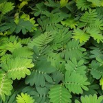 NLS Gevoelig - Mimosa pudica