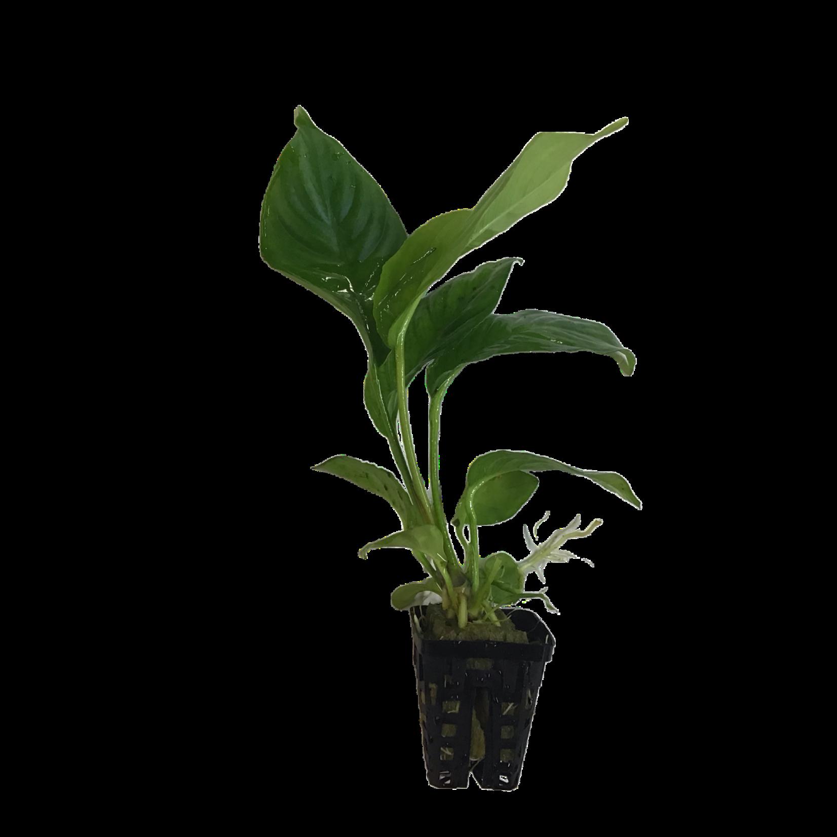 Bubba's Plants Anubias heterophylla