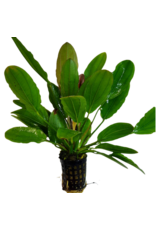 Bubba's Plants Echinodorus osiris - rubra