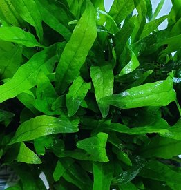 Bubba's Plants Microsorum Minor