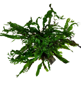 Bubba's Plants Microsorum Windeløv (feuilles crispées)