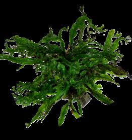 Bubba's Plants Microsorum Windelov