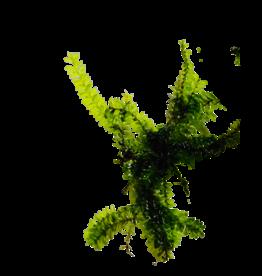 Mousse Pilo moss (Pilotrichaceae sp.)