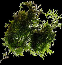 Mousse Mini Taiwan moss
