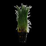 Bubba's Plants Eleocharis parvula (Anciennement: E. acicularis)