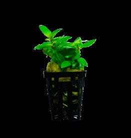 Bubba's Plants Staurogyne repens