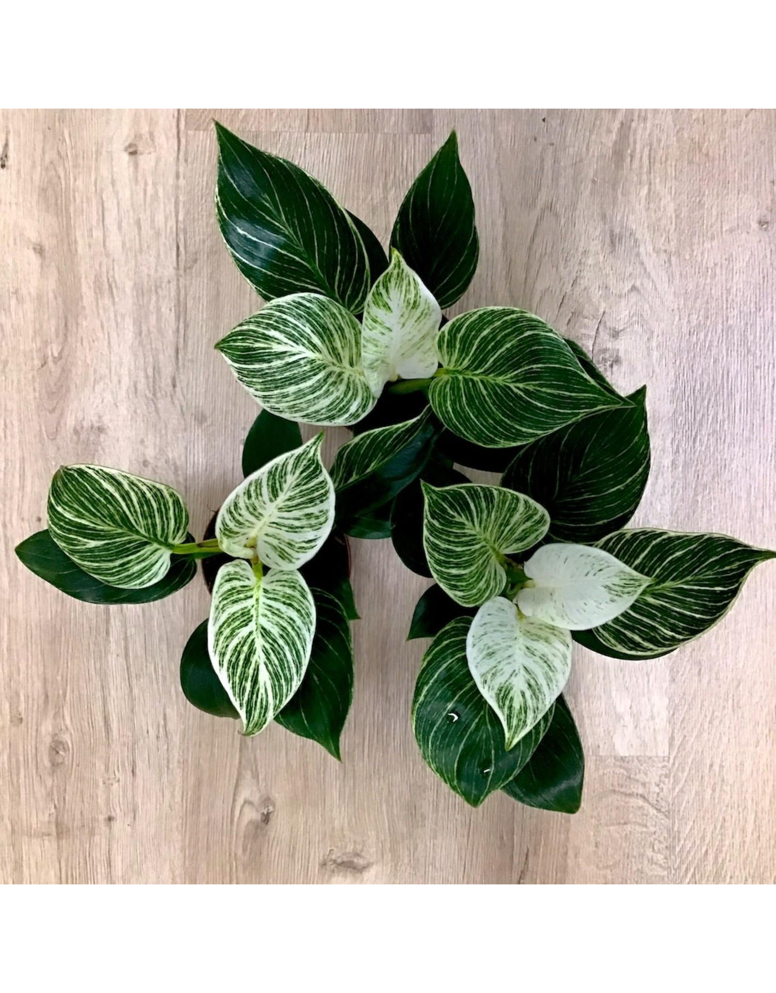 NLS Philodendron Birkin
