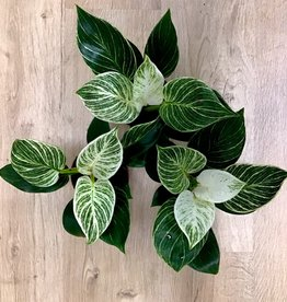 NLS Philodendron Birkin