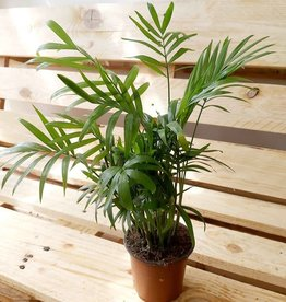 NLS Palmier - Chamaedorea Elegans (35cm)
