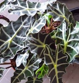 NLS Alocasia Polly - Elephant Ears