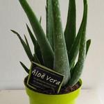 Cactus Aloe vera