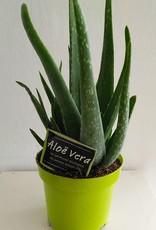 Cactus Aloe vera S