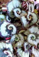 NLS Bégonia à feuillage escargot