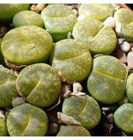 Cactus Lithops - Pierre vivante - Plante fesses