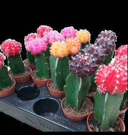 Cactus Cactus Fraise