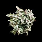 NLS Trandescantia Zebrina Purple