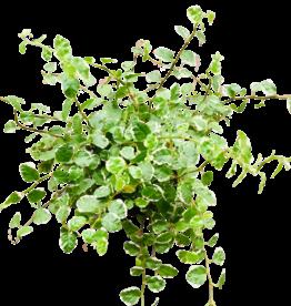 NLS Ficus pumila