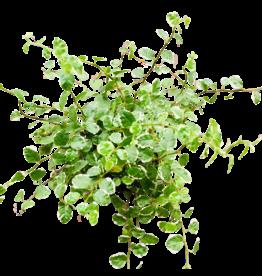 NLS Ficus pumila white