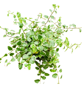 NLS Ficus pumila wit