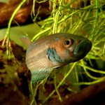 Bubba's Fishs Betta Ocellata