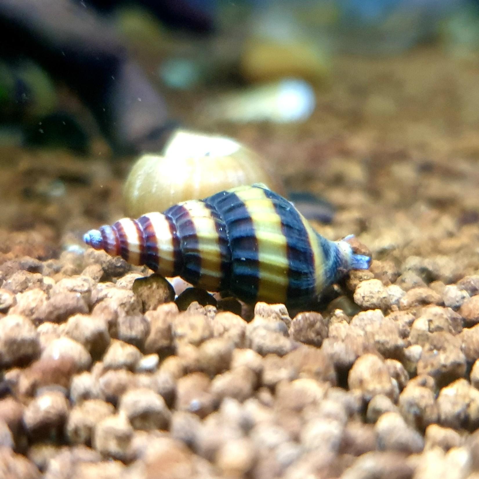 Bubba's Snail Anentom helena - Assassin slakken