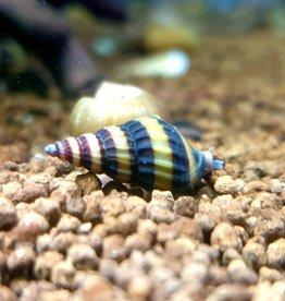 Bubba's Snail Escargots assassins - Anentom helena
