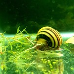 Bubba's Snail Asoleen spixi